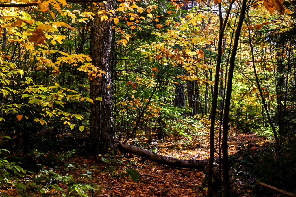 Beautiful Vermont forest.